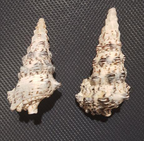 Muszla morska Cerithium nodulosum, Bruguière, 1792 (2 sztuki)