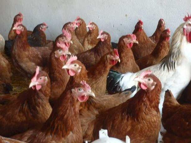 Jajka konsumpcyjne i kury