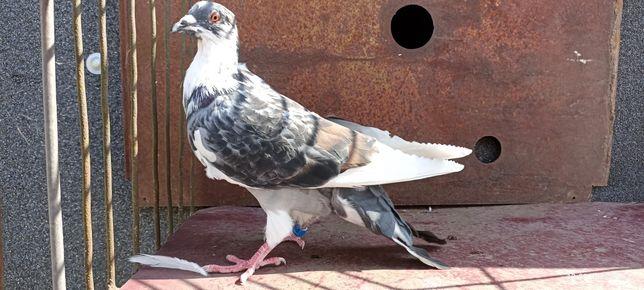 Gołębie młode pocztowe graniasty, czerwony, płowy