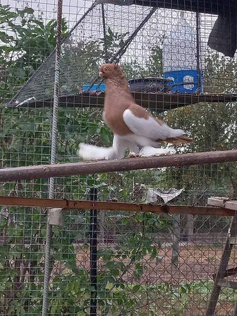 Gołębie ozdobne.