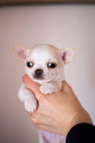 REZERWACJA Chihuahua krótkowłosy - ZKWP/FCI - piękny kremowy piesek