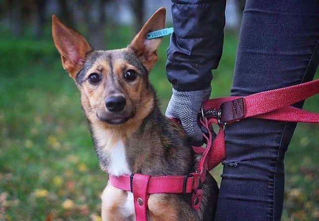 Мира- красивая собака ищет семью (6 мес)
