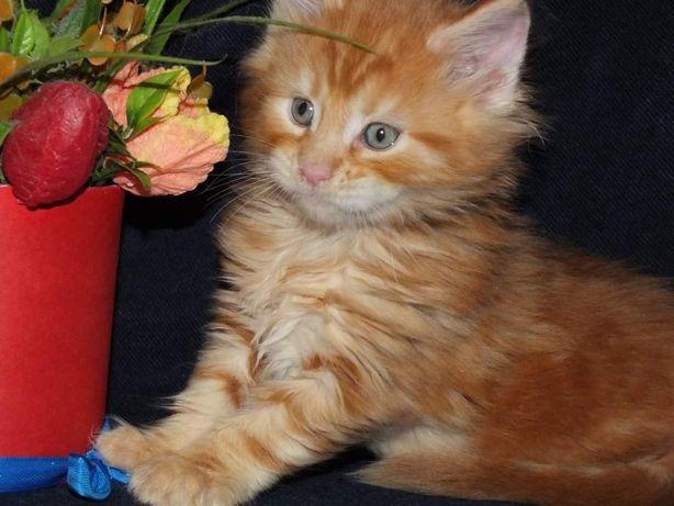 Шикарный, яркий котик мейн кун