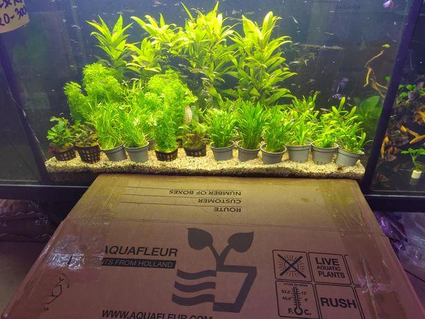 Parva 9.01 dostawa rośliny akwariowe Olsztyn sklep zoologiczny Pirania