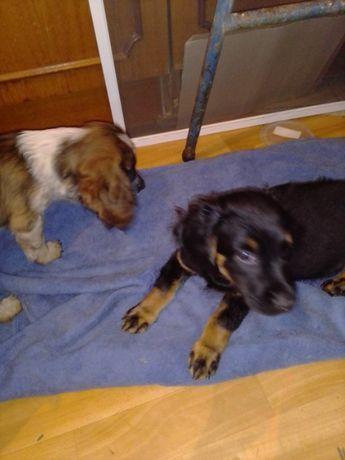 Спаниели-метисы, щенки 2 месяца. Привиты.