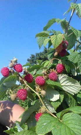 Sadzonki maliny POLESIE, LASZKA, GLEN AMPLE, b. duży owoc -WYSYŁKA