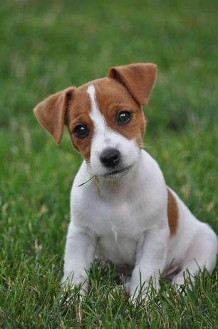 Jack Russell Terrier z RODOWODEM