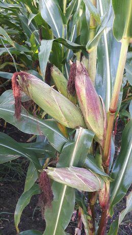 Kukurydza na pniu na kieszonkę lub ziarno