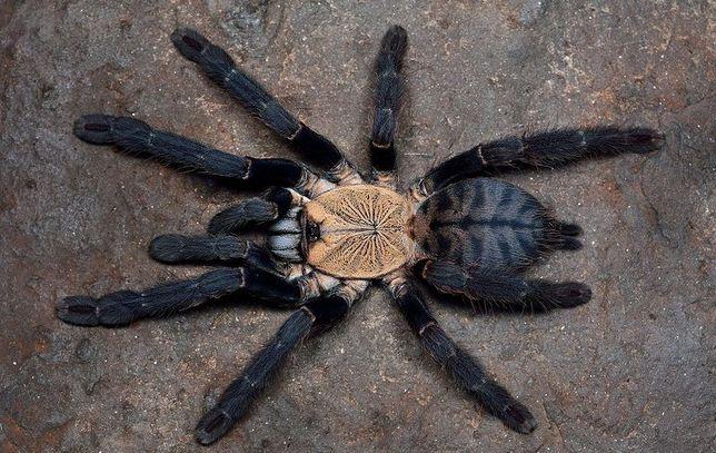 "Самка паука птицееда Cyriopagopus sp. ""Hati Hati"""