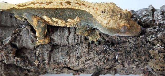 Gekon orzęsiony samczyk