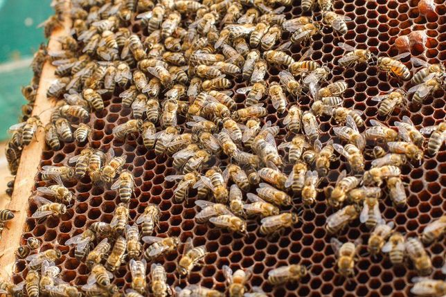 Порода Карніка Скленар Вывод от матки 2019г. F1 Материнки пчел – матки