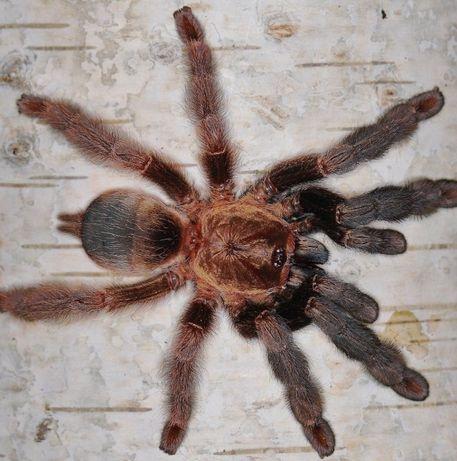 Psalmopoeus reduncus самка паука птицееда