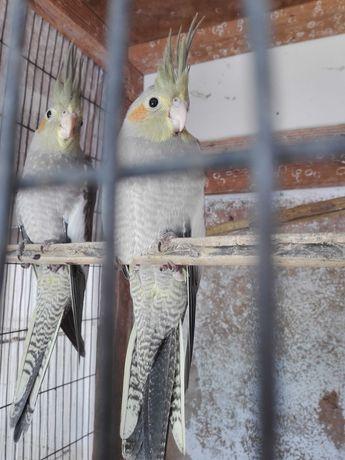 Catarruas ( parecem gémeas) saíram do ninho há 2 dias lindas
