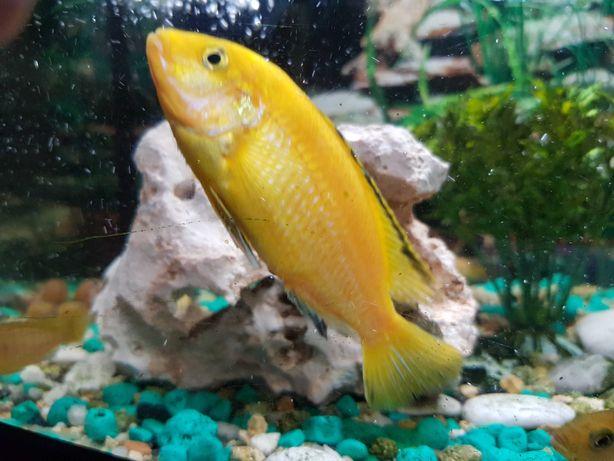 Pyszczak Yellow - Żółty (Labidochromis Caeruleus), młode