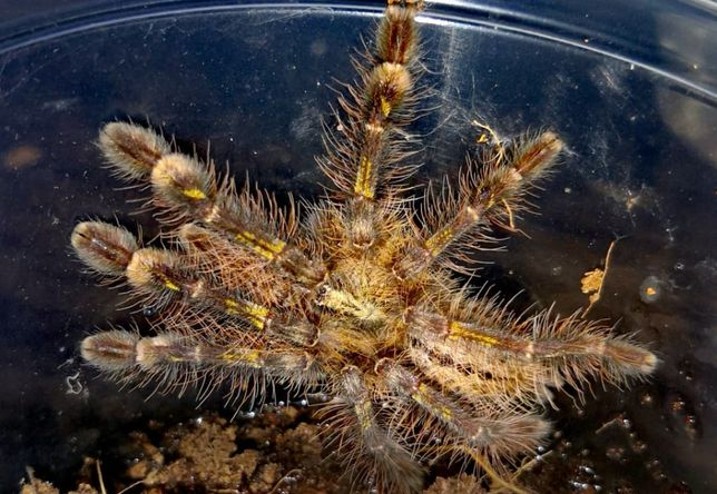 Poecilotheria rufilata L5 pająk ptasznik i dużo innych