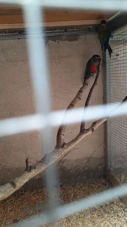 Papugi nimfy  para 2019