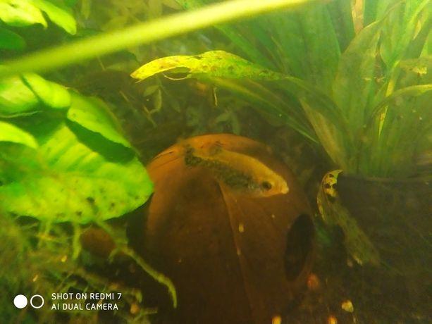 Rybki akwariowe ameka wspaniała