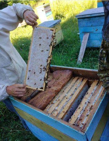 Карника «Carnika» (Deutscher Imkerbund) Пчелиные матки. F1. Элитные.