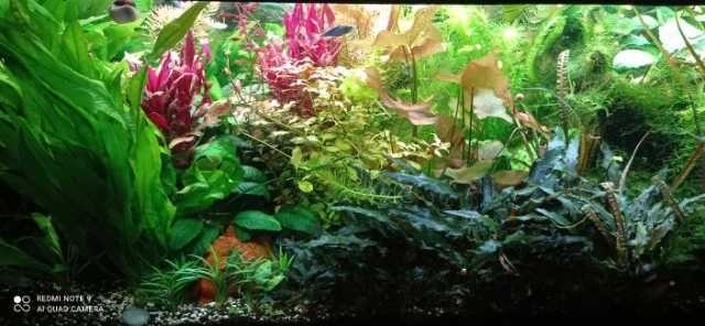 Rośliny akwariowe tanio