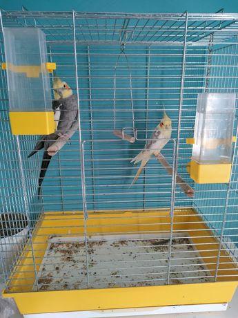Papugi Nimfy oswojone z klatką