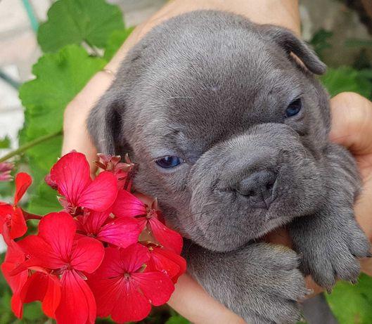 Bulldog francês  exótico . Top qualidade