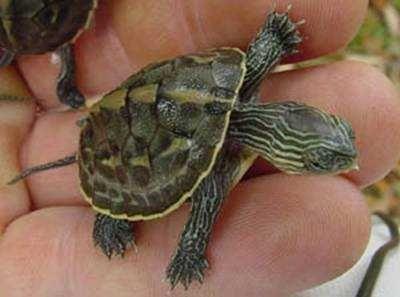 Żółw ocadia sinensiswodno lądowy3-4 cm