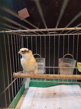 Kanarek Samiec Nr 1 Wysyłam ptaki kurierem