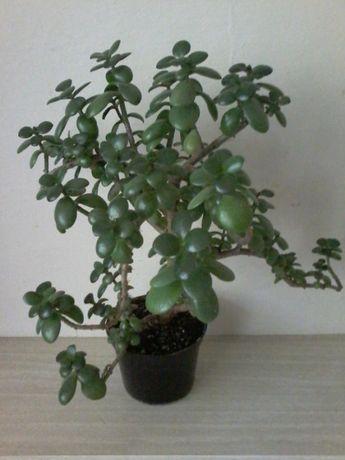 Крассула, денежное дерево
