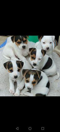Jack rassel terrier mix Pearson terrier