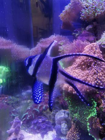 Pterapogon kauderni akwarium morskie