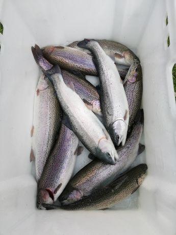 Pstrąg tęczowy,konsumpcyjny,patroszon,ryby, 300g- 500g - 700 g
