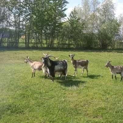 Stado kóz 1 cap  2 młode capy i 4 kozy.