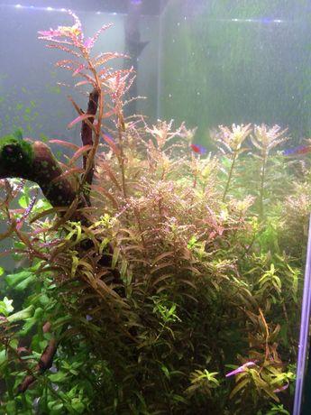Rotala colorata i rotundifolia