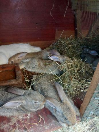 Продам кроленята