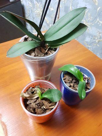 Продам орхидеи взрослую и 2 маленькие