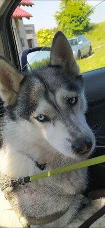 Siberian Husky, 10 lat, bez rodowodu