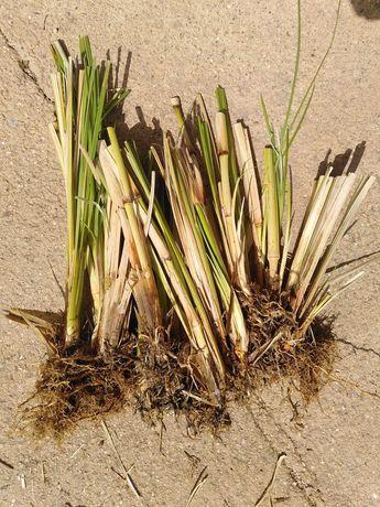 Vetiver plantas / Chrysopogon zizanioides