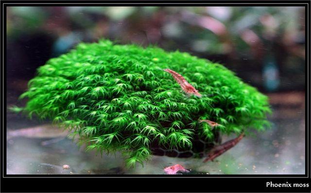 Mech feniks na lawie lub kamiennej korze. Phoenix moss.