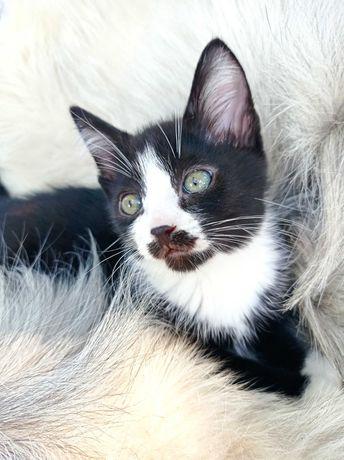Бантик, котёночек мальчик 2,5 месяца