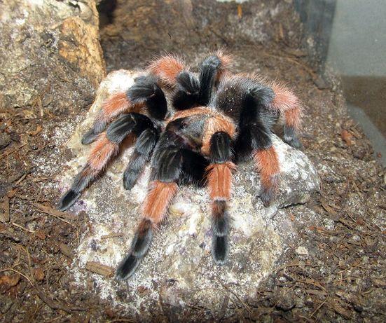 brachypelma emilia самочка паука птицееда для новичков
