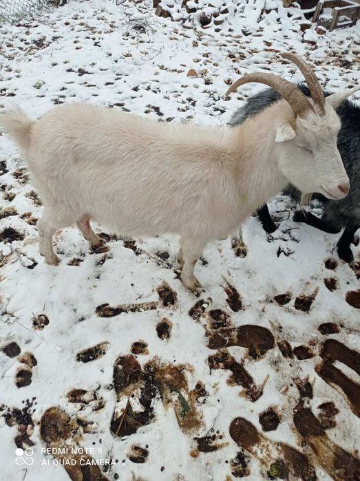 Продам козу Фурсы - изображение 1