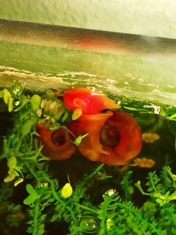 Ślimak, zatoczek różowy 50 gr/szt