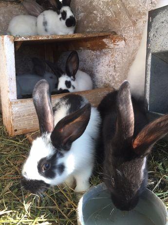 Кролики, кролі, кроленята німецький строкач