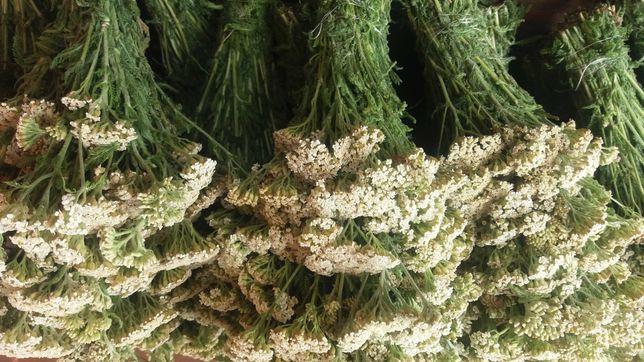 Тысячелистник(деревий),чистотел,середа,скумпия кожевенная, лист ландыш