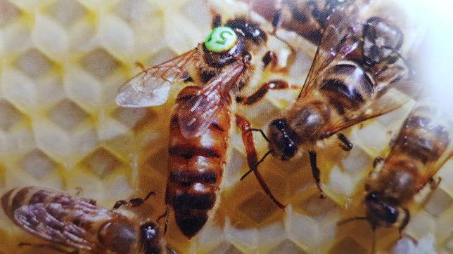 Matki pszczele Krainka REZERWACJA 2021 rok