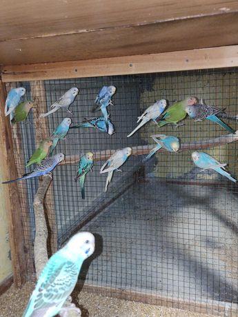 Papugi faliste tęczowe