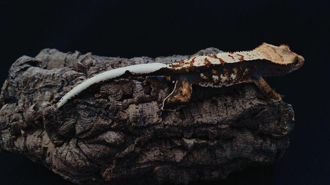 Gekon orzęsiiny Correlophus ciliatus, dorosły samiec Tri color