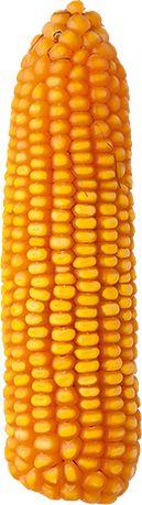 Kukurydza Nimba FAO 260 kiszonka