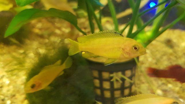Pyszczaki Saulosi, Aulonocara Fire Fish
