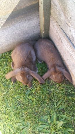 sprzedam 6 królików baranów francuskich